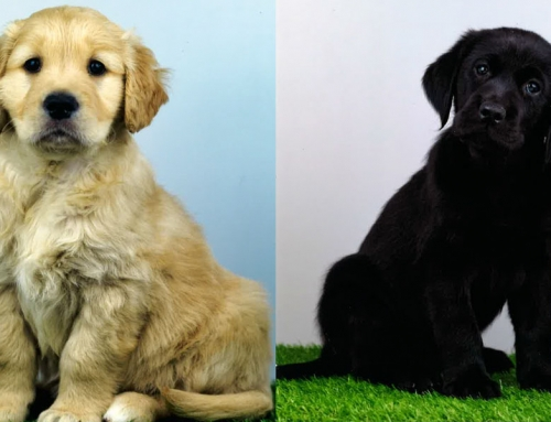 Our Guide Dog Puppies – Birdie and Chipper